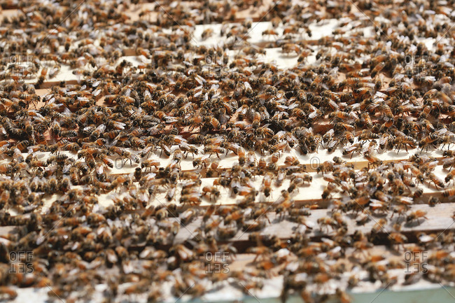 Close up of honey bees in hive