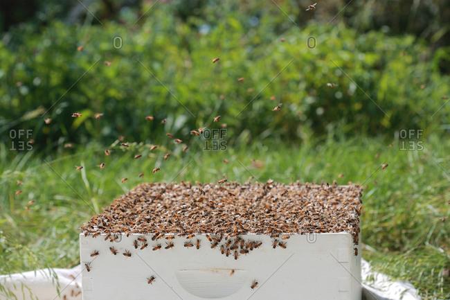 Honey bees swarming around hive