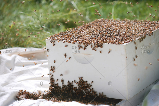Hive and swarming honey bees