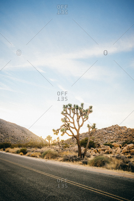 A joshua tree along the side of a desert road