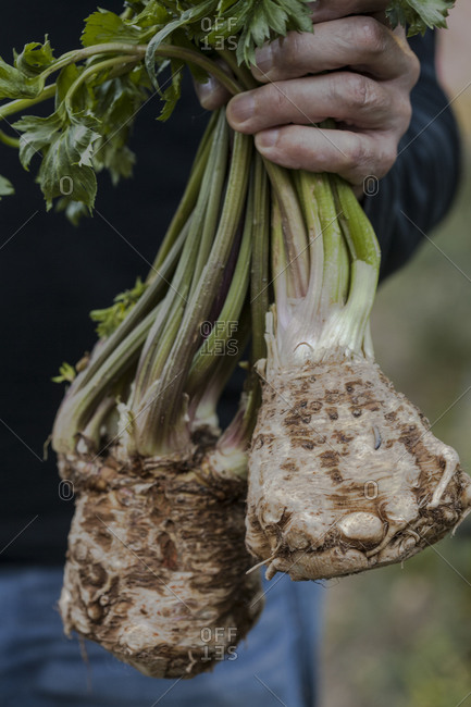 A man holds freshly harvested celery