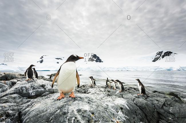 Gentoo Penguins, Waterboat Point, Paradise Harbour, Antarctic Peninsula, Antarctica