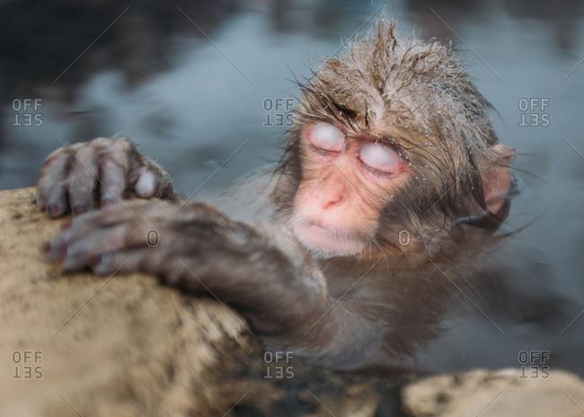 A baby macaque sleeps in a hot spring at Jigokudani Monkey Park, Japan