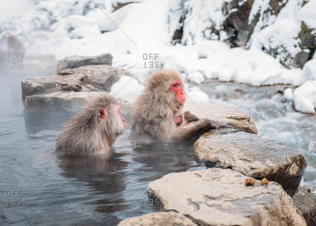 Three macaques in a hot spring at Jigokudani Monkey Park, Japan