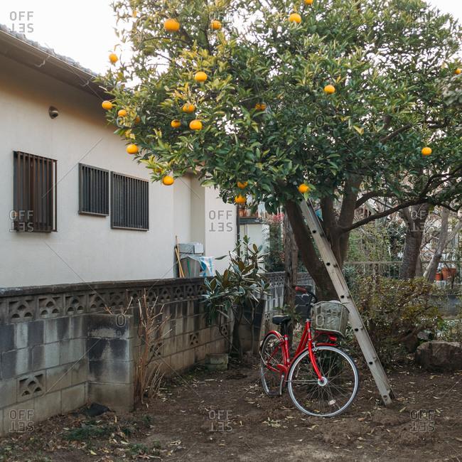An orange tree in a yard in Japan