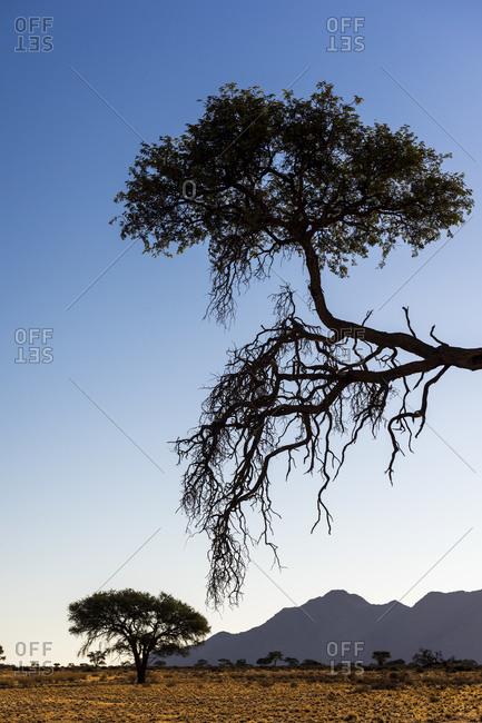 Trees in the Namibian savanna