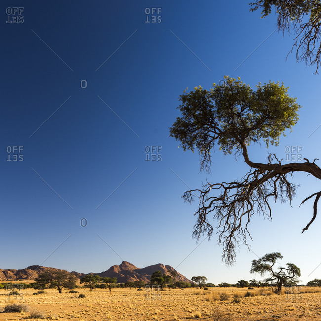 Trees in the Namibian savanna on a bright, clear day