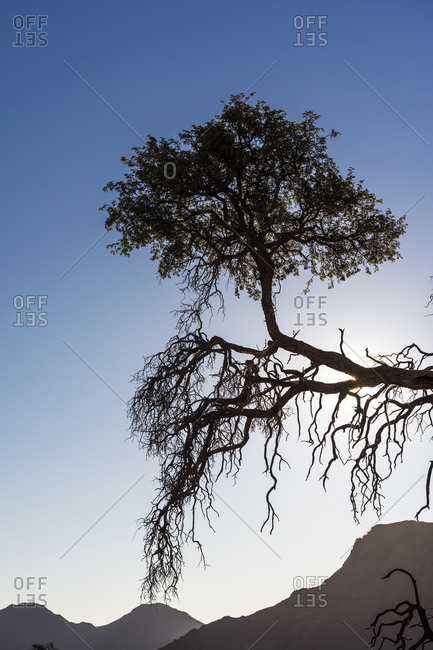 A tree in the Namibian savanna