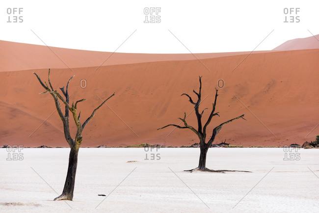 Barren trees in a salt pan in the Namib desert