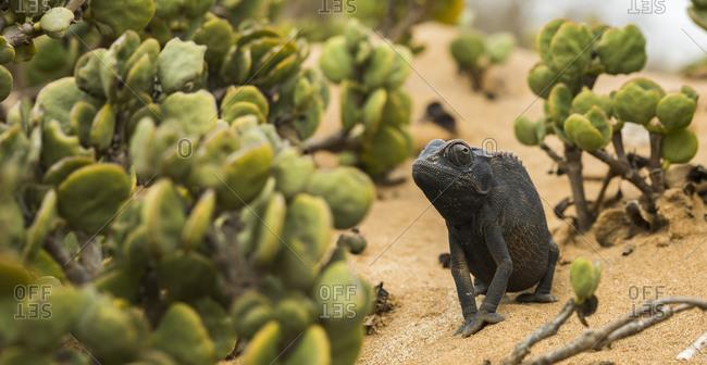 A chameleon in the Namibian desert