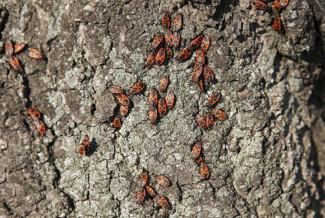 Fire bugs crawling on tree bark