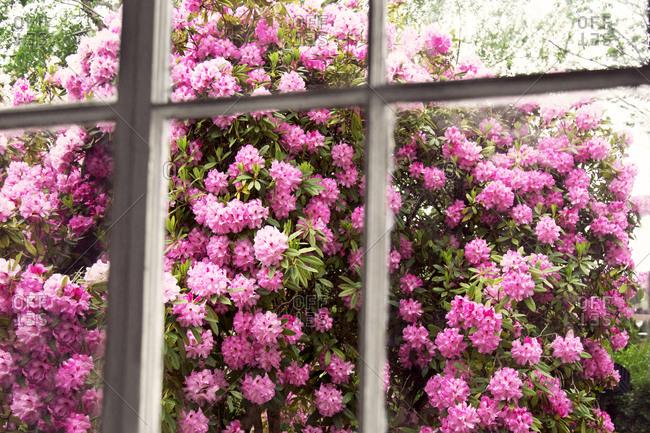 Blossoming shrub in a garden