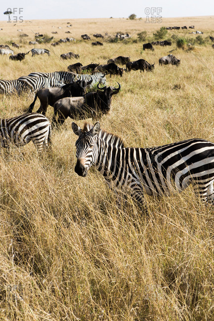 Wildebeest and Zebras in the Maasai Mara in Kenya