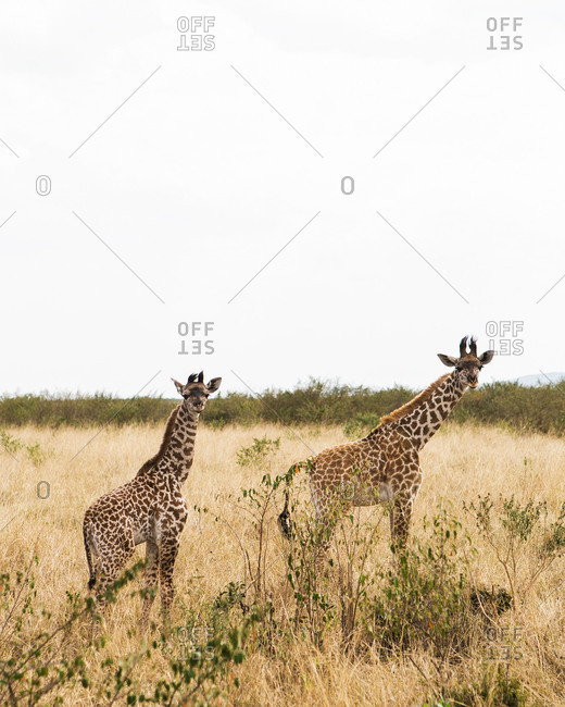 Two giraffes in the Maasai Mara in Kenya