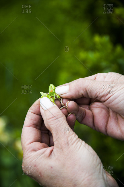 A woman opens a leaf to reveal a leaf miner insect