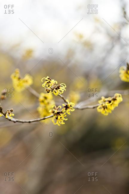 Yellow blossom on a witch hazel shrub