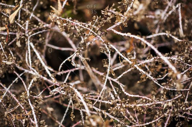 A razzle dazzle shrub