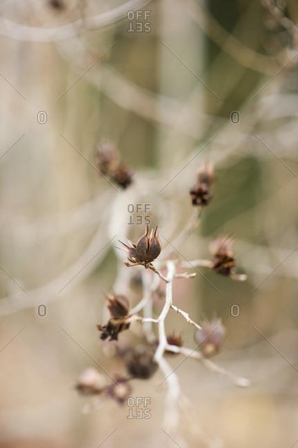 A beaked stewartia plant