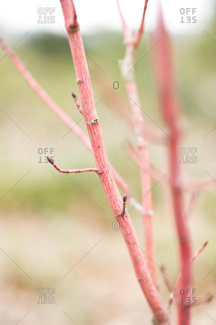The red stem of a dogwood shrub