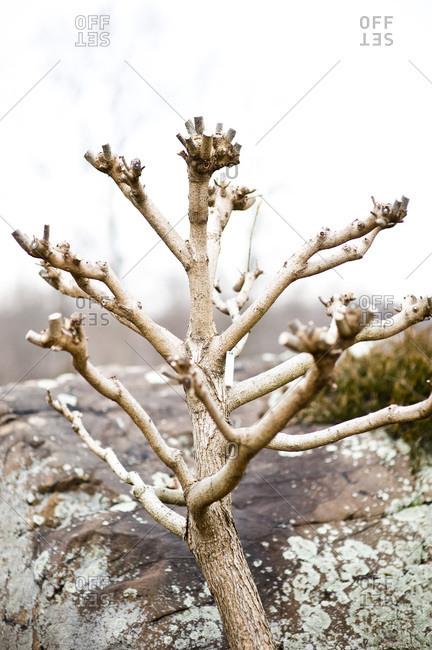 A pruned catalpa tree in winter