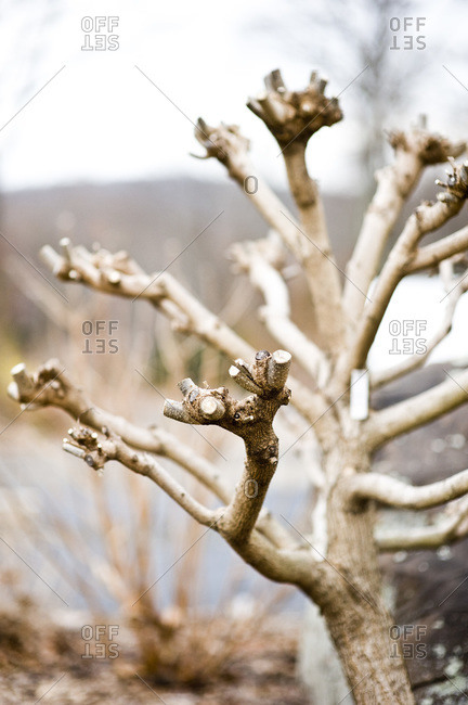 Pruned catalpa tree branches in winter