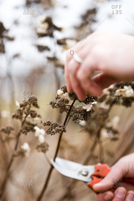 A man pruning a hydrangea paniculata which is a small, delicate shrub, very pretty in winter, with dark brown dried flower heads