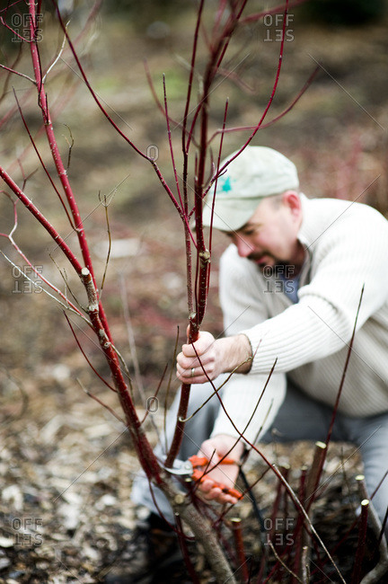 Hamden, CT - February 2, 2012: A man prunes a dogwood shrub in the winter