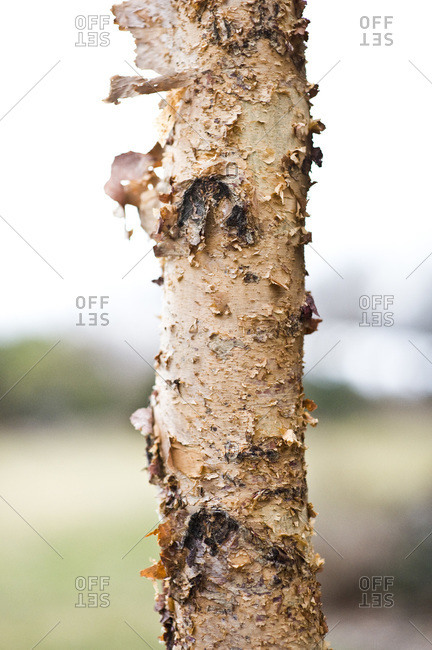 A heritage river birch tree