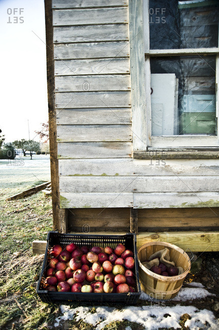Barrels of apples outside of a barn