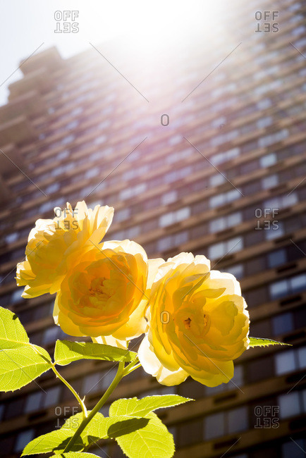 Yellow ranunculus on a rooftop garden in New York City