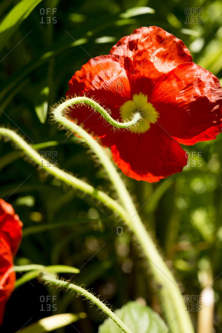 The stem of a red poppy in a rooftop garden in New York City