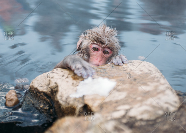 Macaque monkey bathing in river