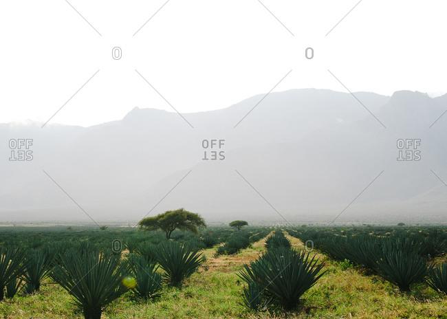 Plants in agrarian field in Tanzania