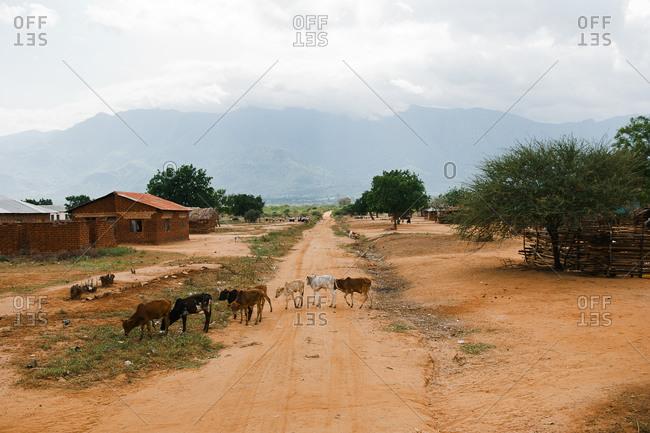 Cows wandering in village in Tanzania