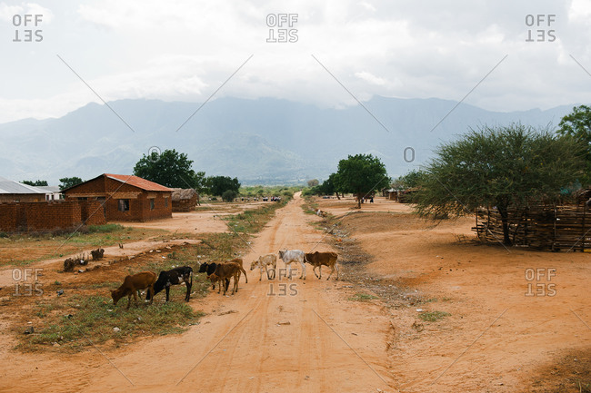 Cows wandering in village in Tanzania