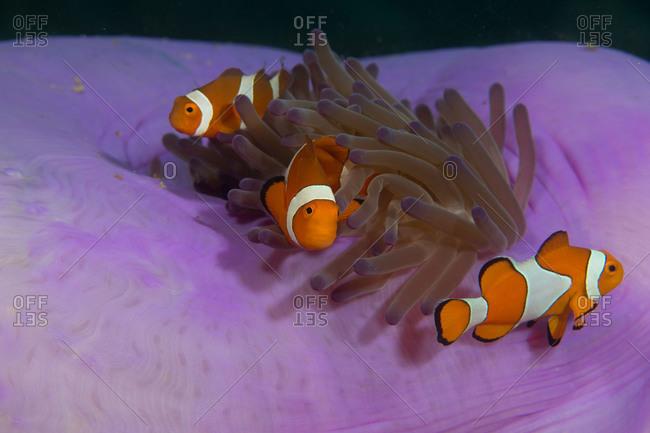 Trio of anemonefish in a magnificent sea anemone