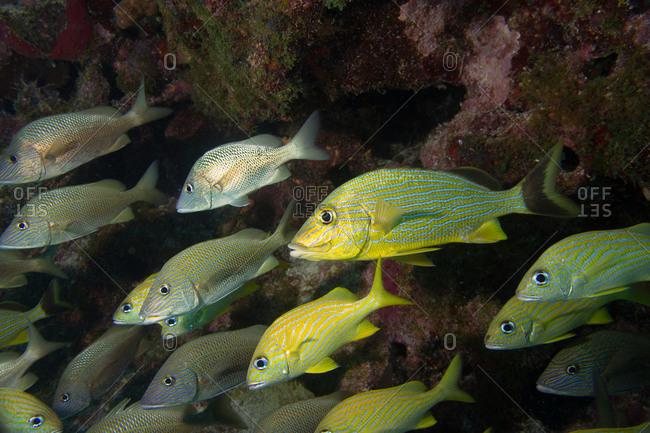 Schooling grunts on a coral reef in Key Largo