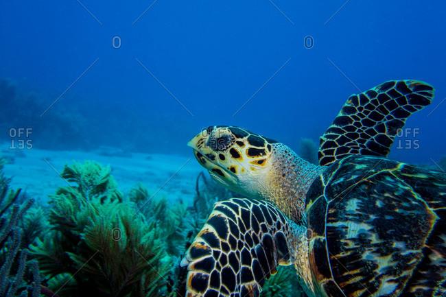 A wary Hawksbill turtle