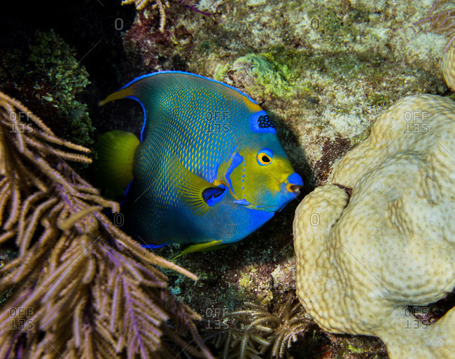Queen angelfish peers at photographer