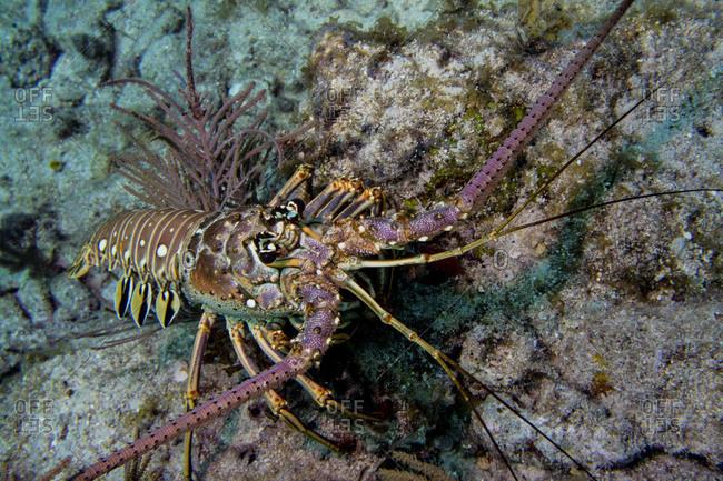 Spiny lobster scuttles across the ocean floor