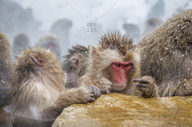 Group of Japanese macaques in water