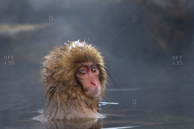 Young Japanese macaque with head above water