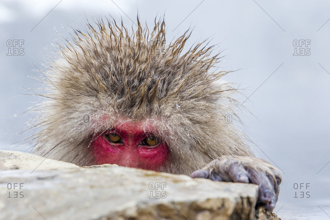 Japanese macaque peering over a rock