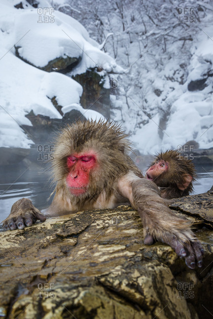 Adult and baby Japanese macaques