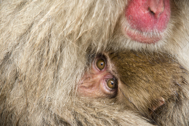 Baby Japanese macaque peering from fur of an adult