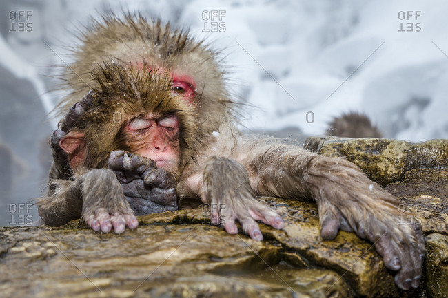 Adult Japanese macaque holding baby