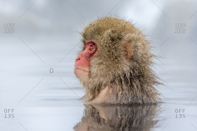 Japanese macaque in water