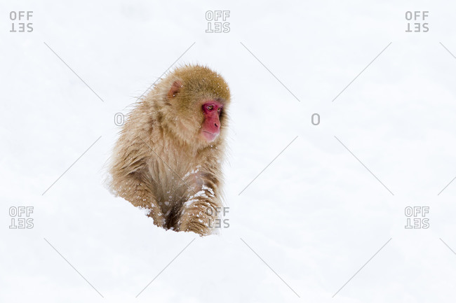 Japanese macaque sitting in snow