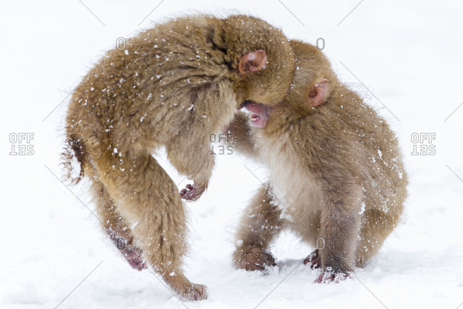 Young Japanese macaques playing in snow