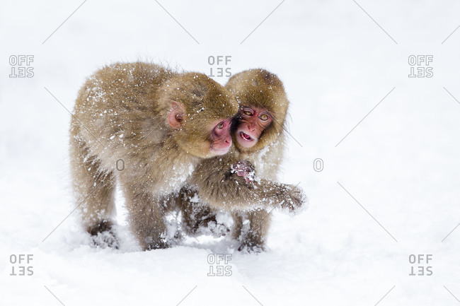 Young Japanese macaques in the snow